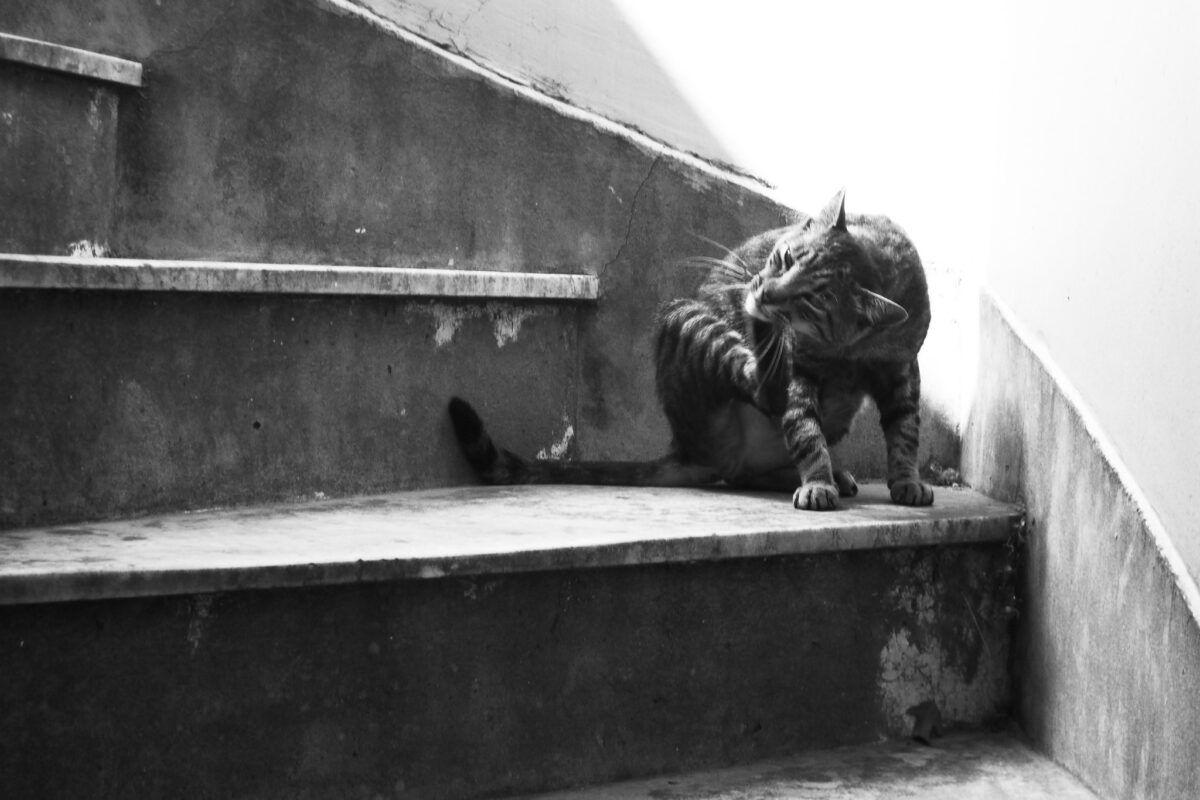 ¿Cómo quitarle las pulgas a un gato?   Tips y precauciones para eliminarle las pulgas