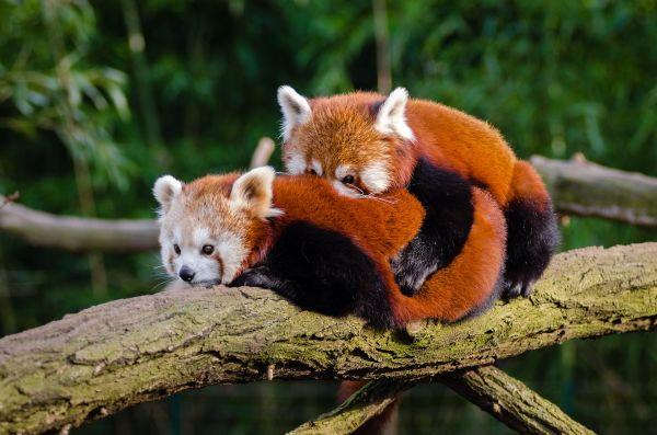 reproducción oso panda