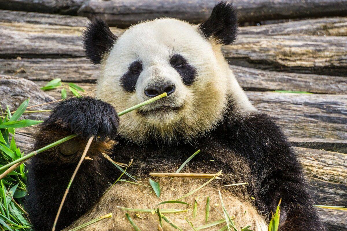 Cómo es el oso panda