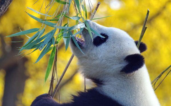 alimentación oso panda