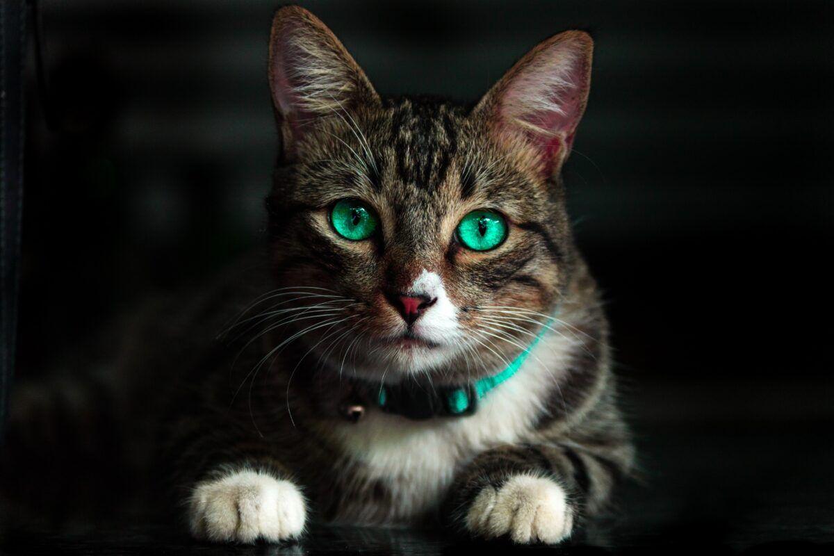 Cómo saber si es gato o gata