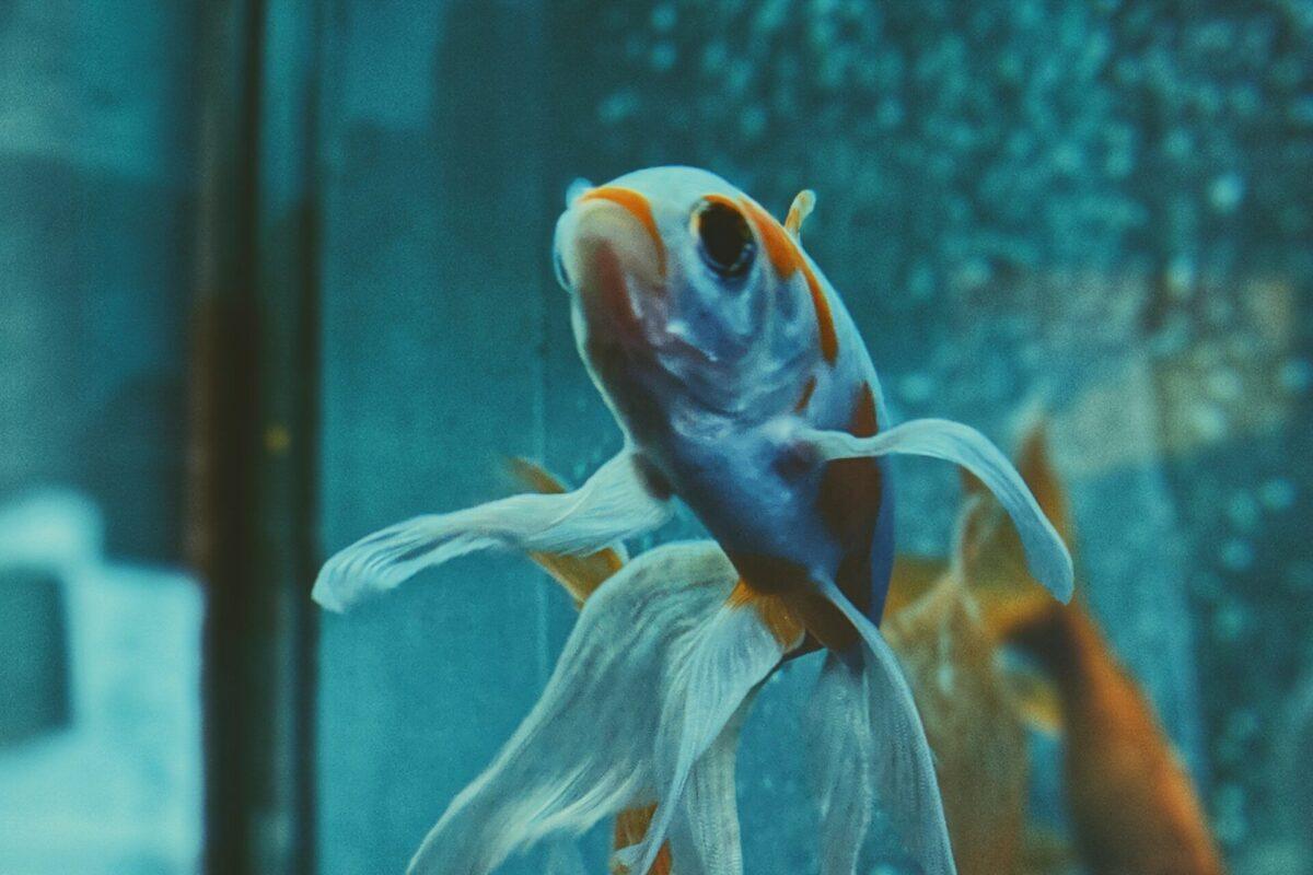 Cómo respiran los peces