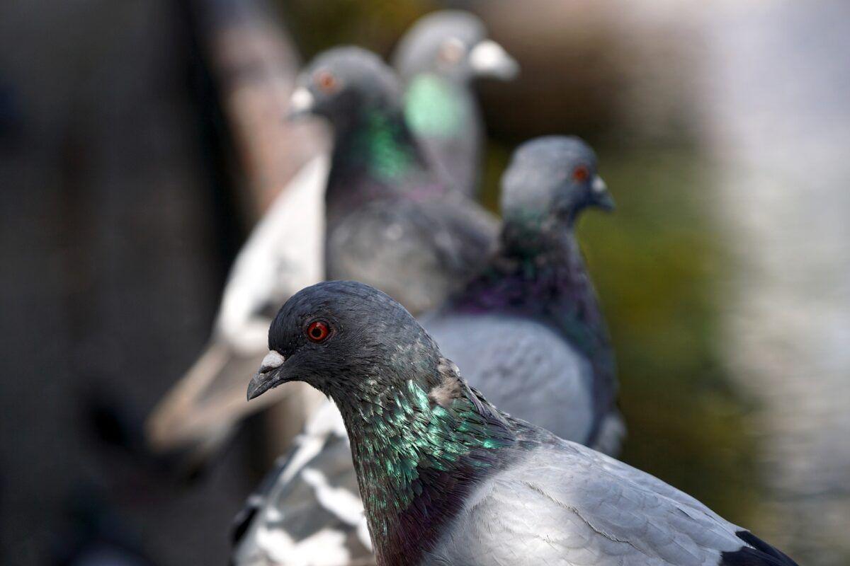 ¿Sabes cuáles son las enfermedades que transmiten las palomas?