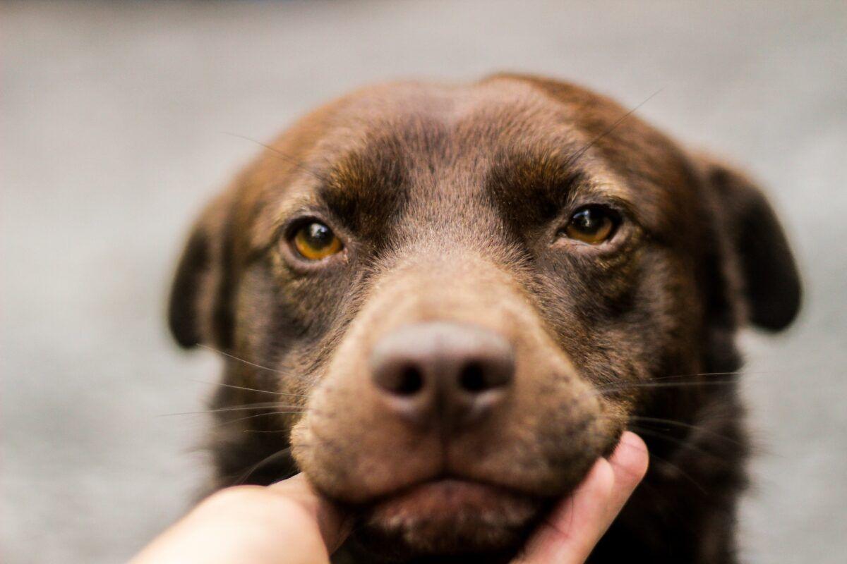 Cómo cuidar a un perro con linfoma