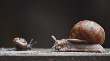 Cómo se reproducen los caracoles