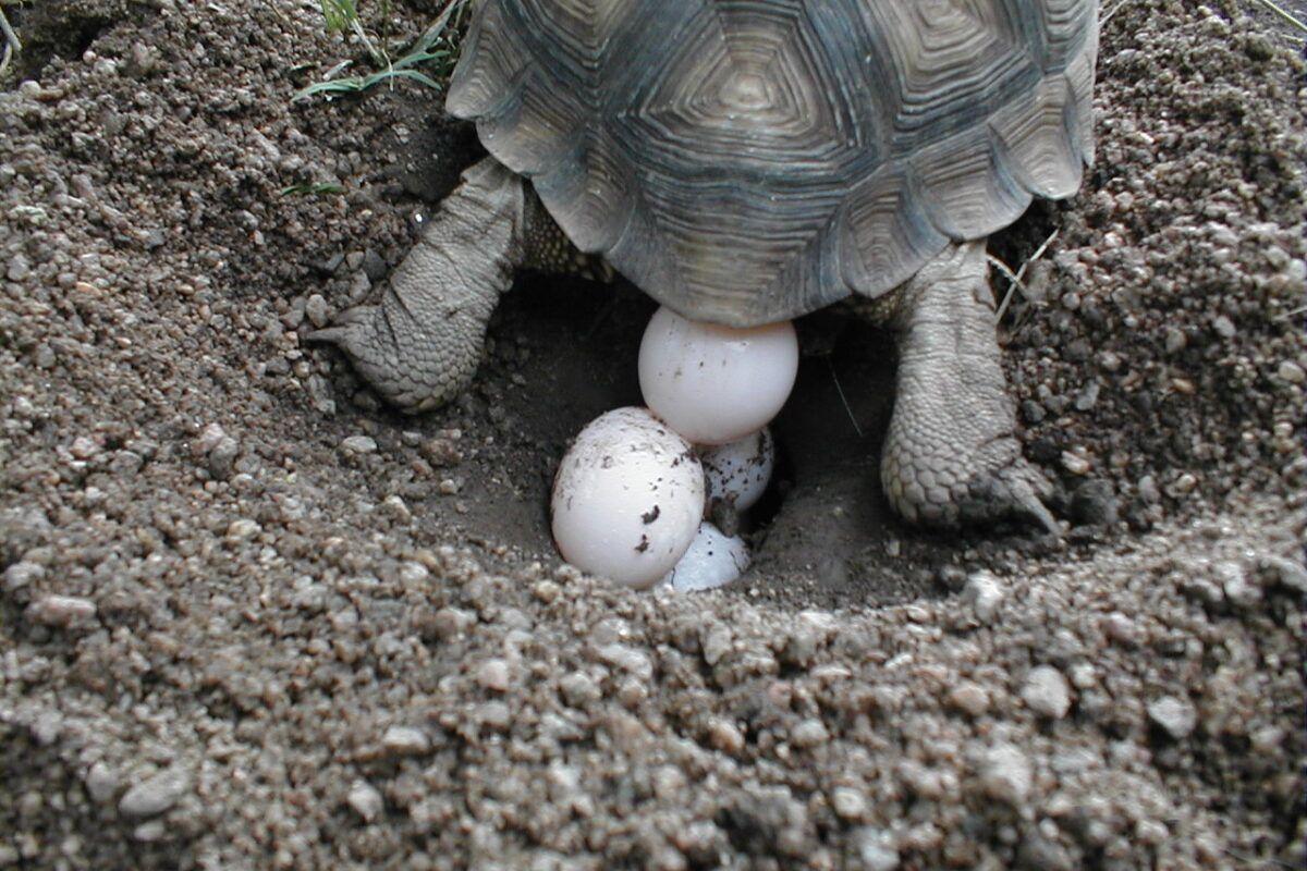Huevos de tortugas de tierra