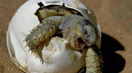 Huevos de tortuga de agua