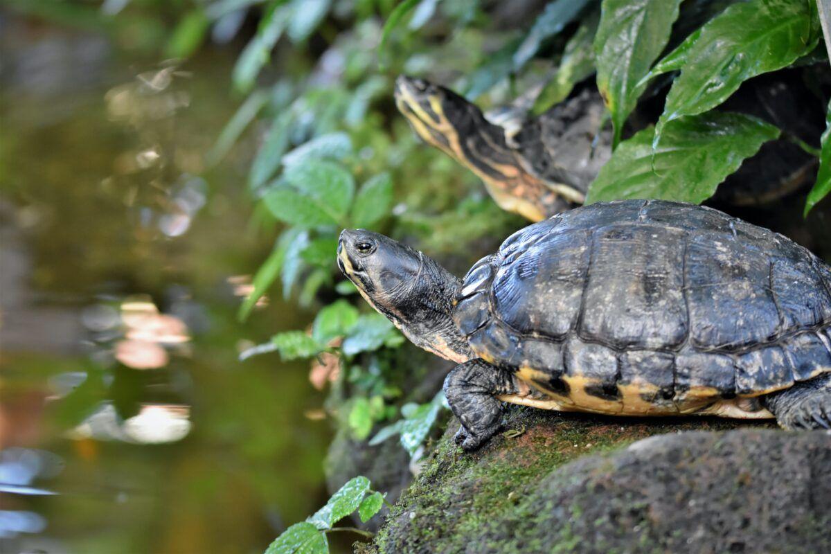 Cuidados de una tortuga de agua
