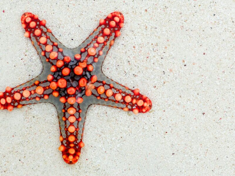 Curiosidades de las estrellas de mar