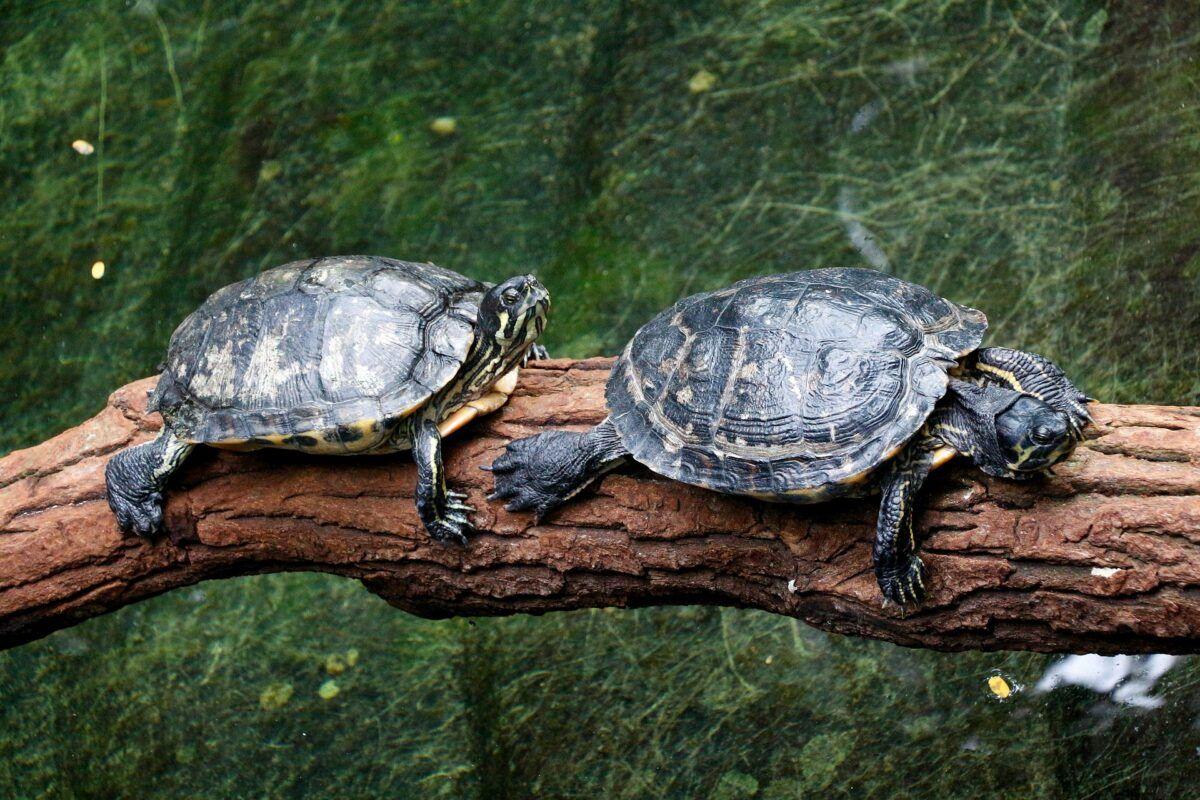 Tipos de tortuga de agua dulce