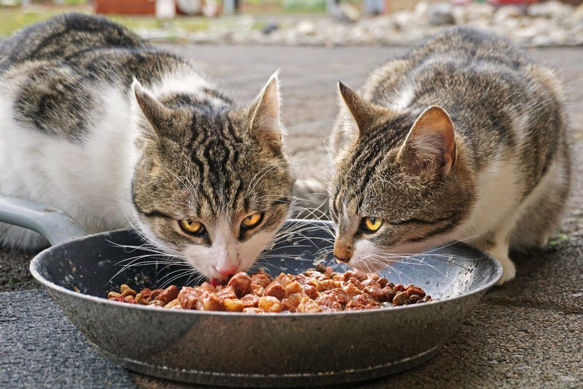 Pienso para gatos con diarrea