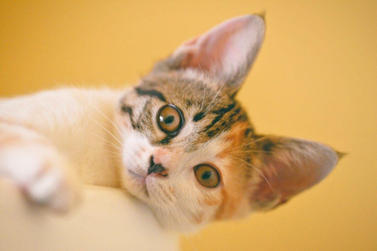 Medicamentos para cortar diarrea en tu gato