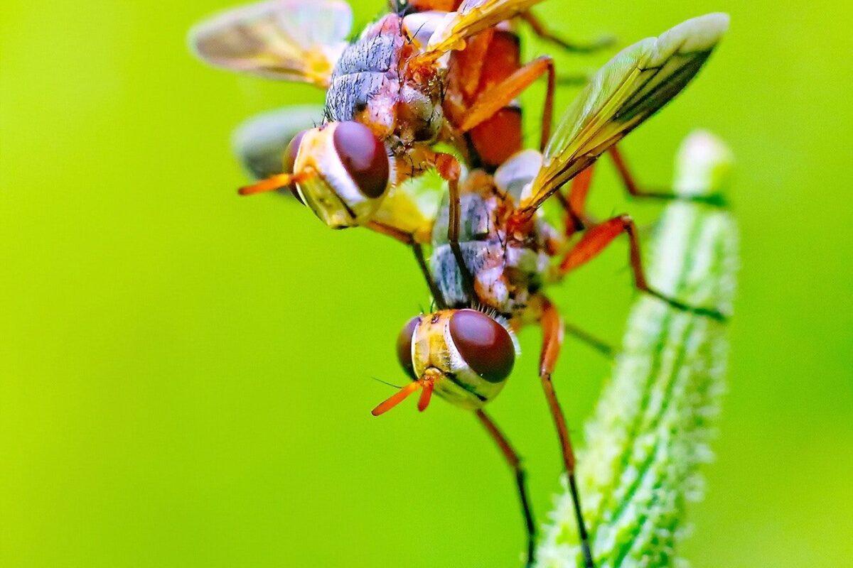 ¿Cómo se reproducen las moscas?