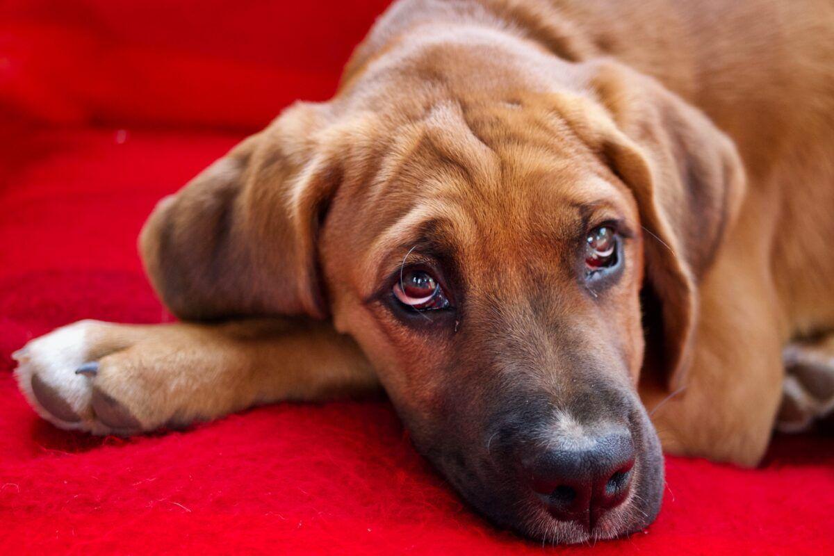 Diarrea en perros medicamentos