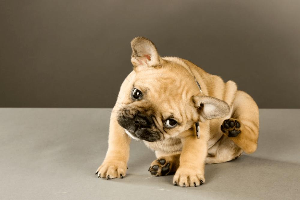 ¿Cómo puedo prevenir la alergia a las pulgas en perros?