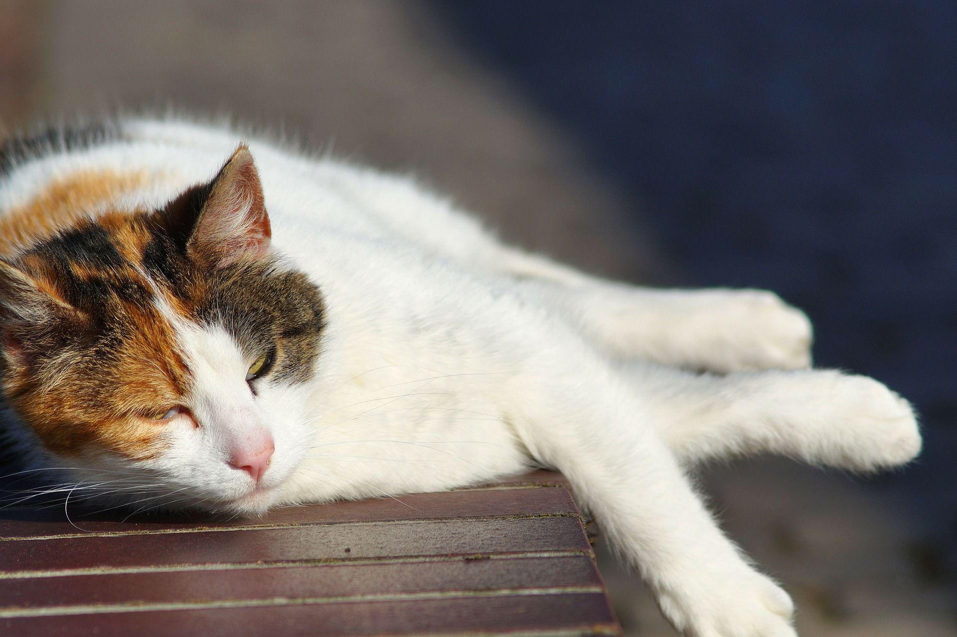 gato con calor