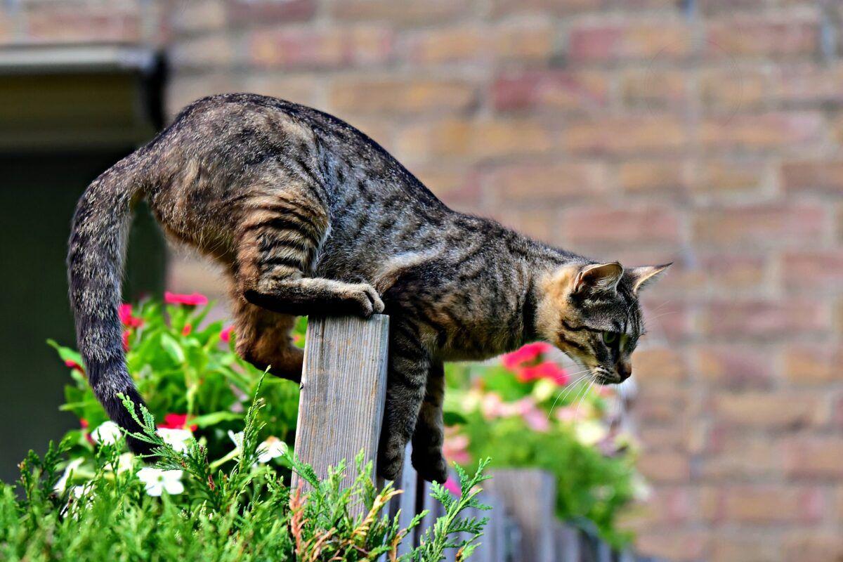 Curiosidades sobre el gato paracaidista