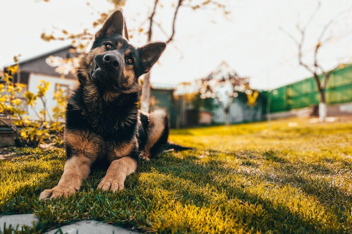 Estos son los mejores perros guardianes