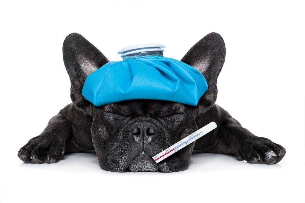 Cómo bajarle la fiebre a un perro