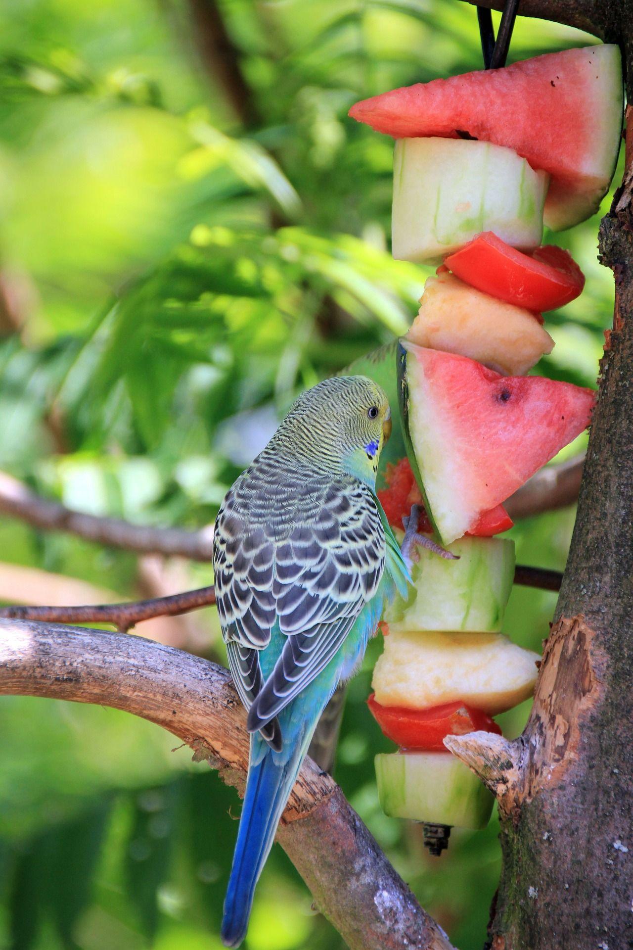 qué comen los periquitos