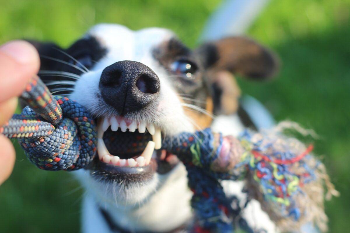 ¿A los perros se le caen los dientes?