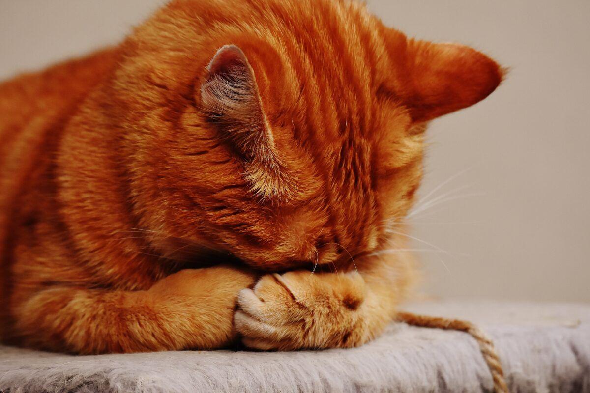 ¿Qué hacer si mi gato le llora un ojo?