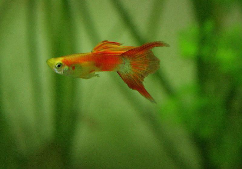 reproducción del pez guppy
