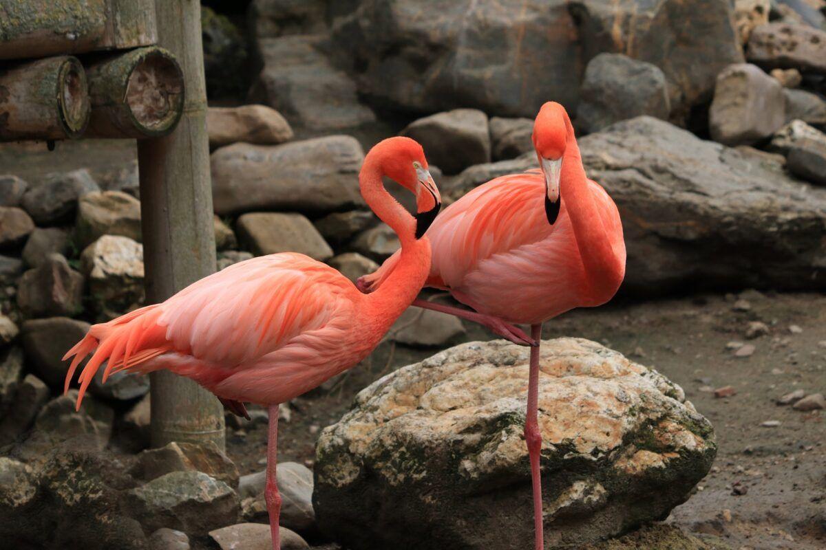¿Por qué los flamencos son rosas?