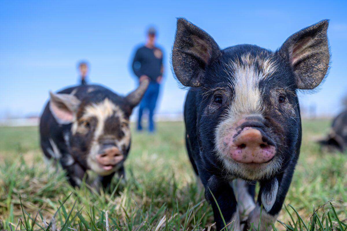 Cerdo vietnamita mascota