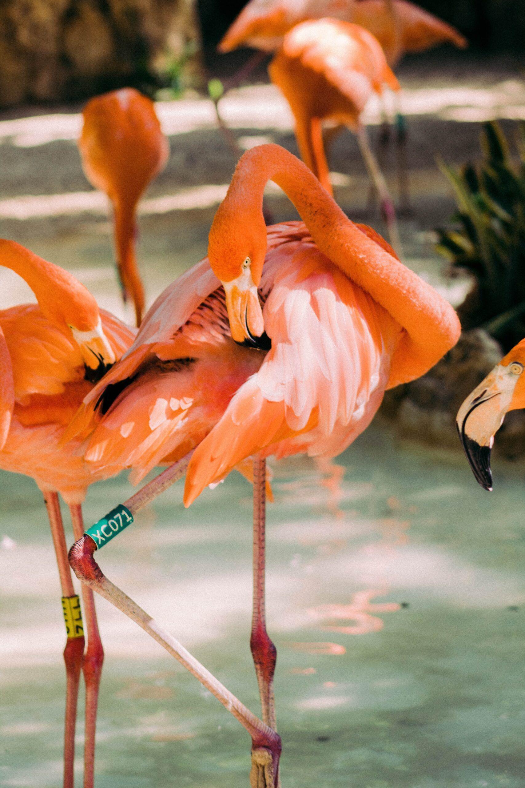 coloración rosa de los flamencos